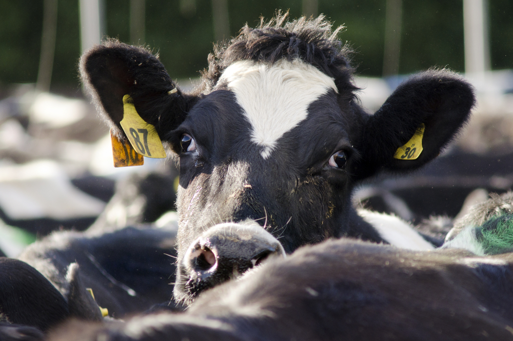 Factory Farming: Animal Cruelty in Food Production