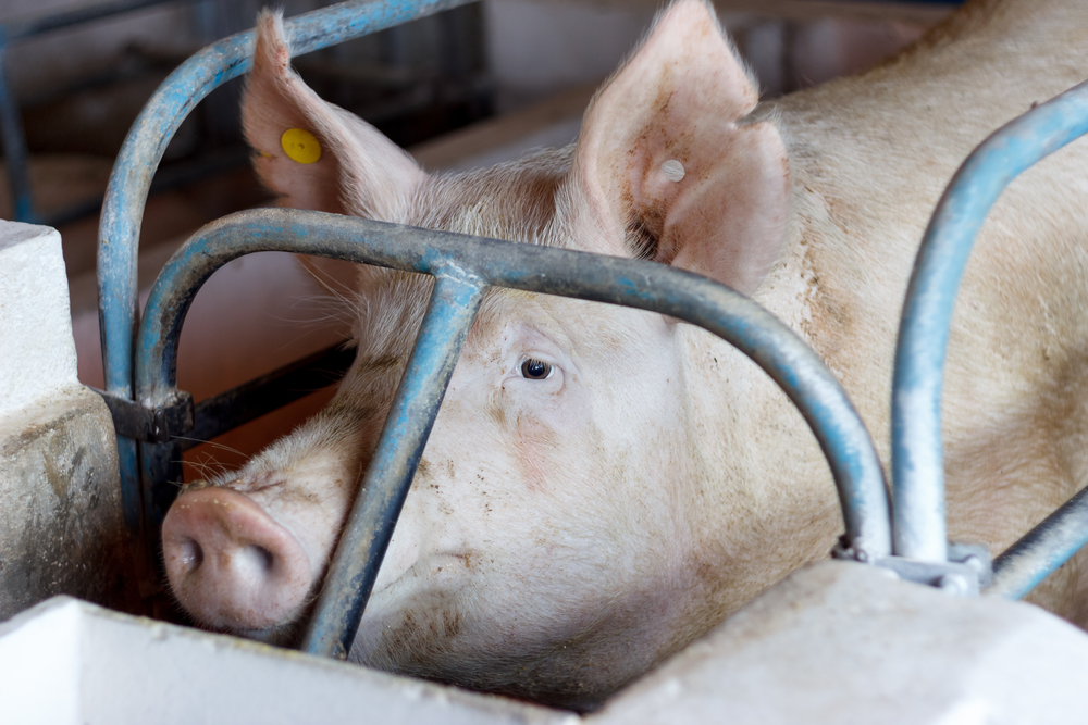 Farmed Animals: The UK Meat Market for Pigs, Sheep and Deer